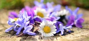 데이지, 꽃, 꽃잎, 파랑 꽃