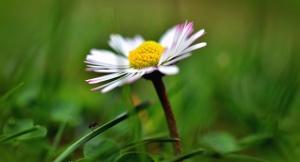 daisy, flower, plant, petal, blossom