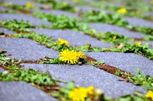road, stone, dandelion, plant, flower, flowering