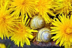 petal, dandelion, flower, flowering, snail, plant
