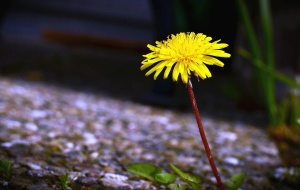 haulm, dandelion, bloom, petal, flower, plant