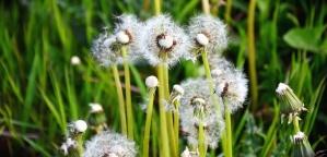 haulm, dandelion, seed, leaf, plant, grass