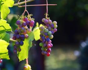 Foglia, bacche, uva, frutta, giorno, vigna