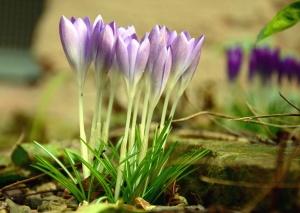 flower, crocus, grass, plant, petal, nature