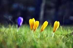 grass, flower, crocus, petal, blossom, field, nature