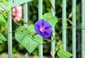 flower, leaf, plant, petal, fence, metal, garden