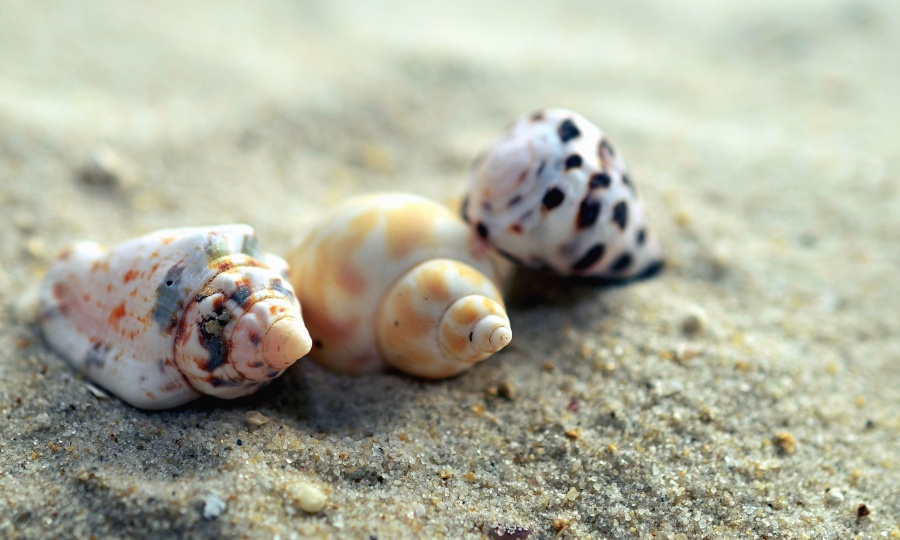 seashell, sand, beach, invertebrate, shell