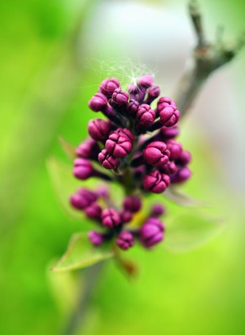 bud, flower, spring, plant