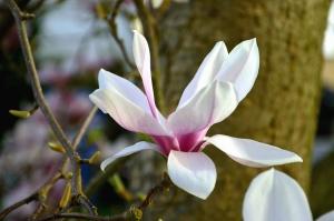 magnolia, petal, flower, plant, branch