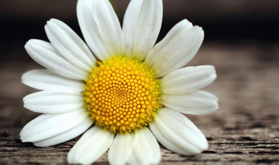 pollen, petal, daisy, surface, flower, plant
