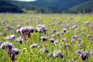 поле, ливада, цвете, wildflower, планина