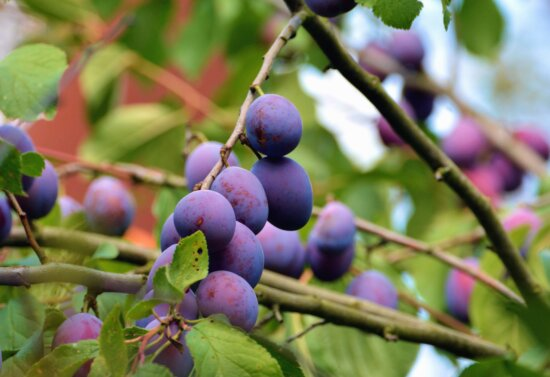 plum, fruit, wood, branch, leaf