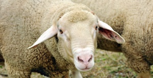 sheep, animal, wool, head