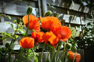 poppy, flower, plant, stem, leaf, fence, wood