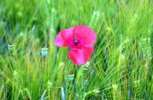 Blume, blütenblatt, stamm, gras, feld, wiese, mohn