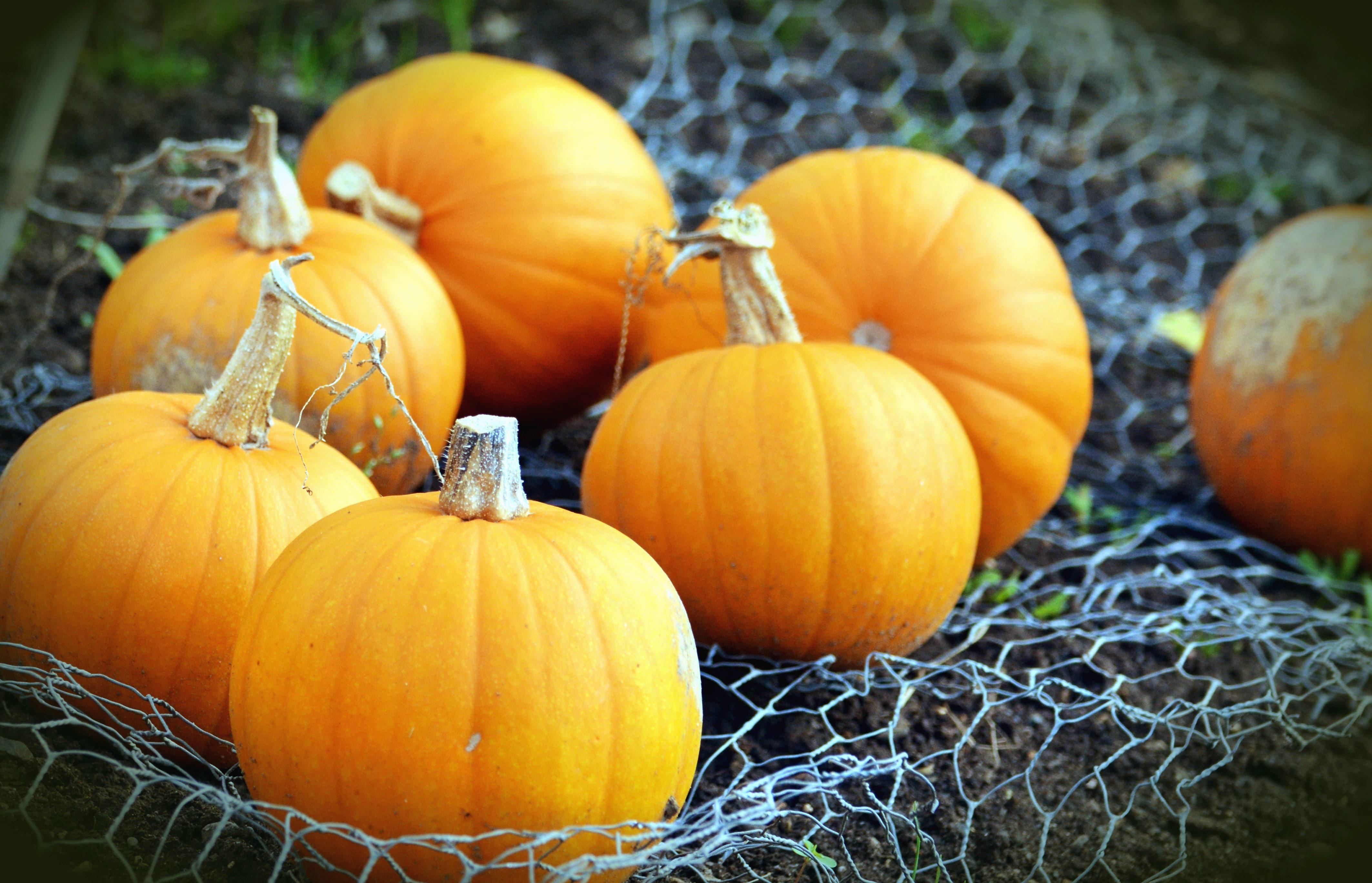 free picture pumpkin vegetable plant autumn network