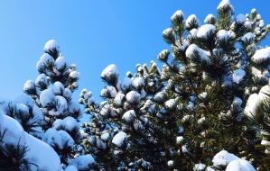 pine, snow, tree, branch, winter, frozen