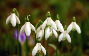 snowdrop, flower, spring, haulm, plant, leaf