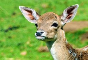 Hirsch, Tier, Wildtier, Gras, Natur