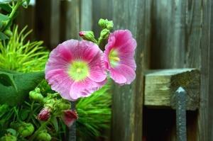 ograda, vrt, cvijet, list, latica, cvijet, biljka
