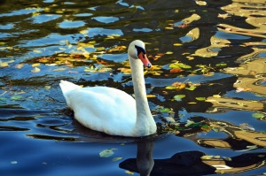 feather, water, lake, reflection, swan, bird, animal