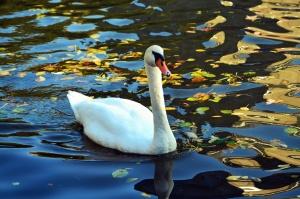 Pluma, agua, lago, reflexión, cisne, pájaro, animal