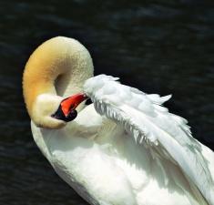 fjäder, vatten, sjö, swan, fågel, djur