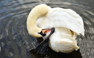 swan, bird, animal, feather, water, lake