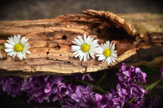 Margarita, flor, pétalo, flor púrpura, árbol