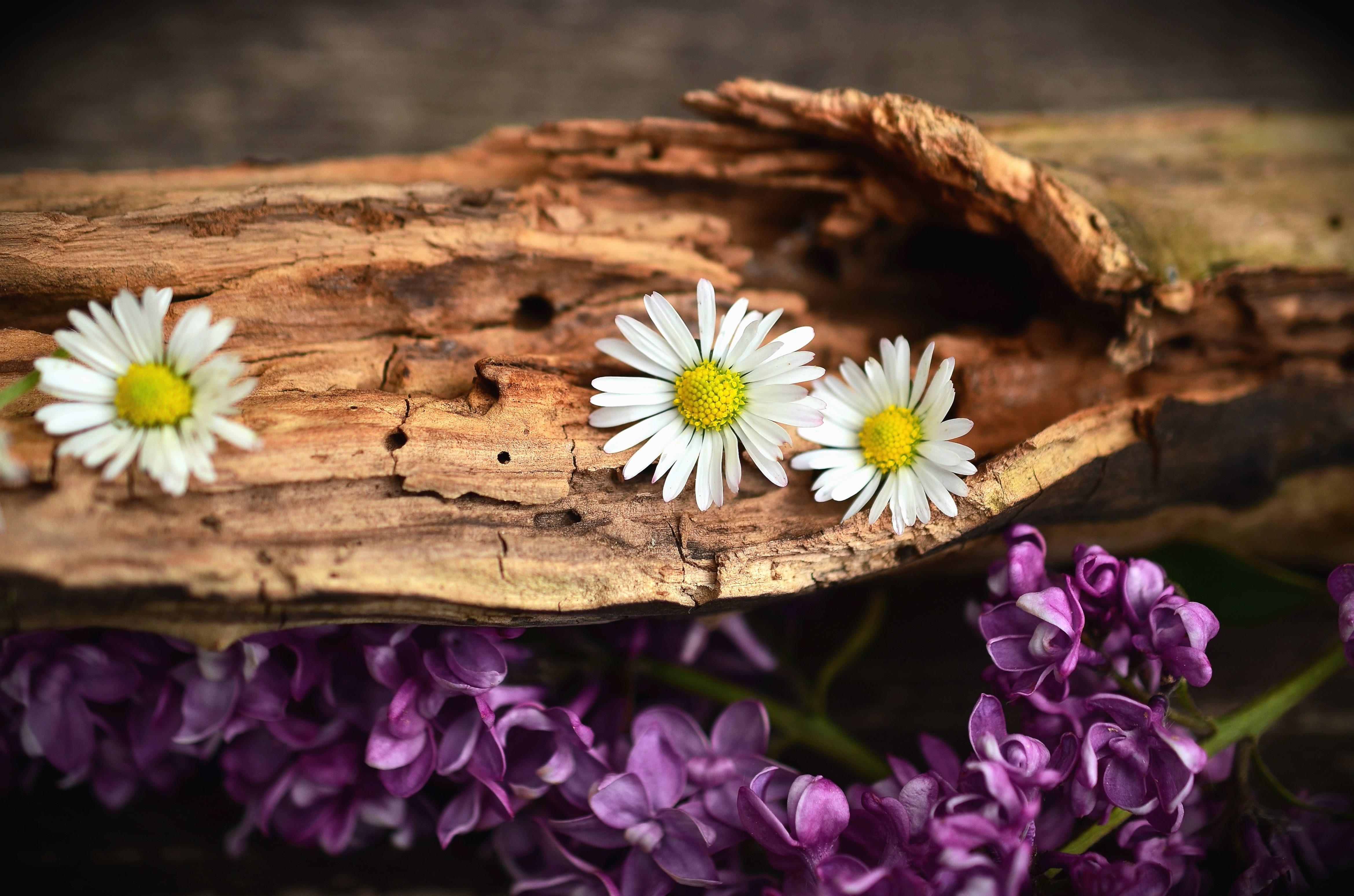free picture daisy flower petal purple flower tree