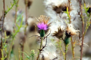 thistle, thorn, pricker, plant