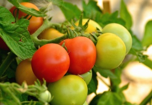 tomato, green, vegetable, garden, food, agriculture