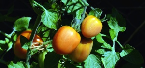 tomato, plant, agriculture, vegetable, garden, food