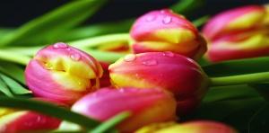 Tulipan, kwiat, Płatek, wody, liść, wiosna, roślin