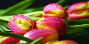 tulip, flower, petal, water, leaf, spring, plant