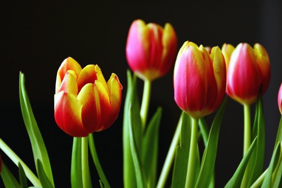Tulipan, kwiat, Płatek, liść, wiosna, roślin