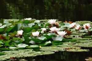 vodeni ljiljan, lotos, jezera, cvijeće, prirodu
