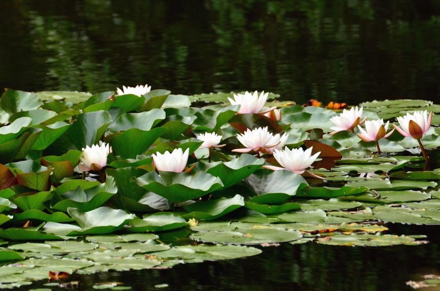 water lily, lotus, lake, flowers, nature