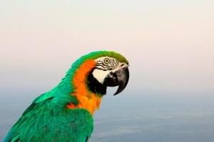 ара, папагали, Тропик, цветна