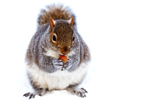 Neve, scoiattolo, animale