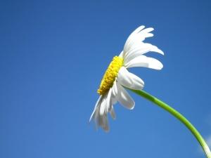 flower, pistil, daisy, blue sky