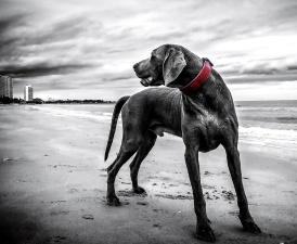 pas, plaža, pas, kućni ljubimac, ovratnik