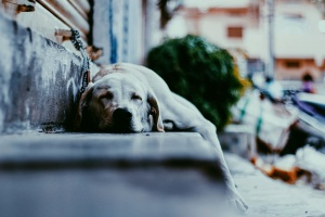 dog, sleeping, street, pet