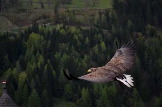 eagle, predator, bird, flight, sky