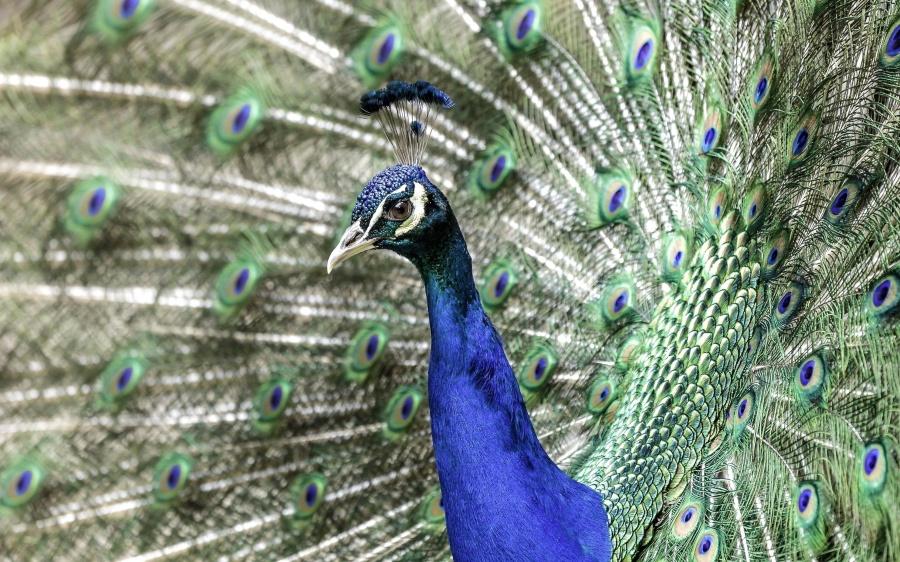 Pavo real indio, pájaro, animal