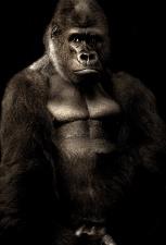 maimuţă, gorila, negru