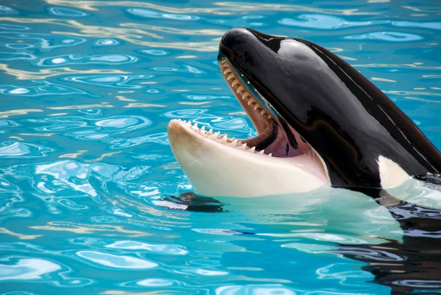orca, swimming pool, animal, killer whale, whale, water, ocean