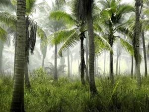 Palme, skog, kokos, treet