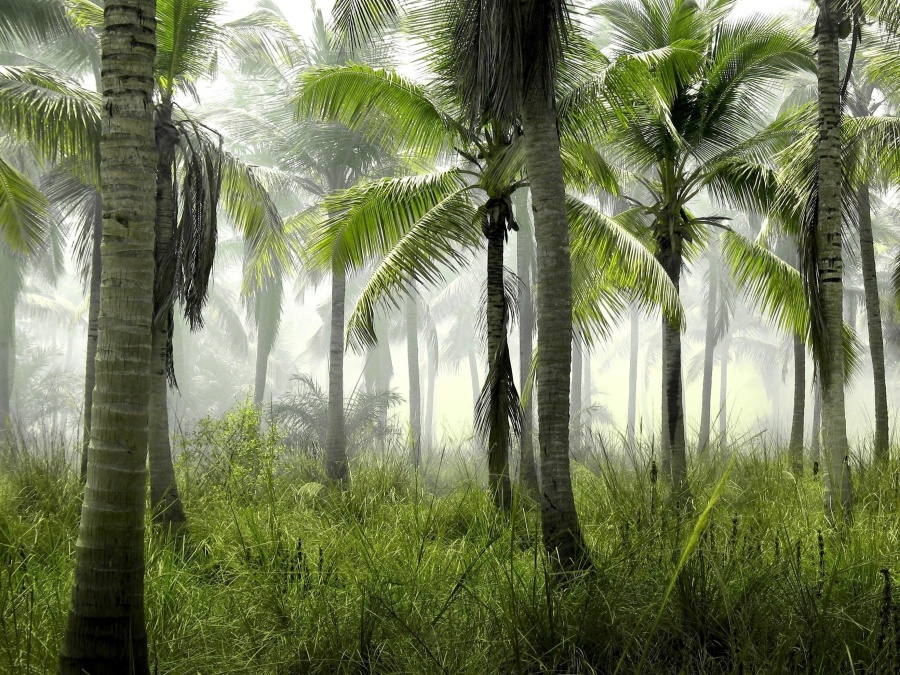 palm tree, forest, coconut, tree