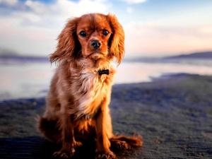 Animal domestique, chien, mignon, canin, animal
